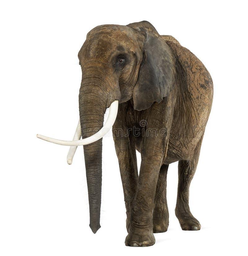 Posição do elefante africano, isolado fotografia de stock royalty free