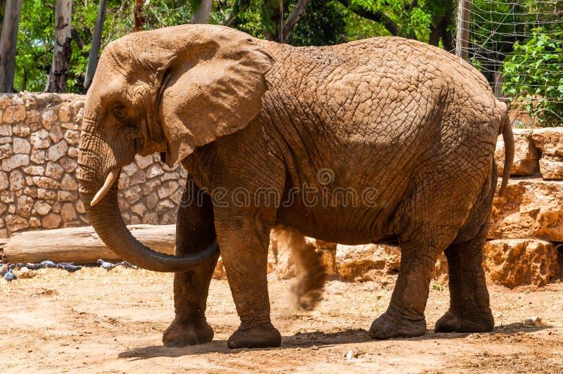 Posição do elefante africano no safari, Ramat Gan, Israel imagem de stock royalty free