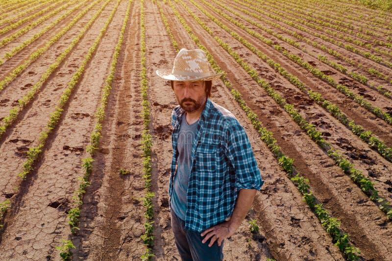 Posição do fazendeiro no campo cultivado do feijão de soja, opinião de ângulo alto imagens de stock