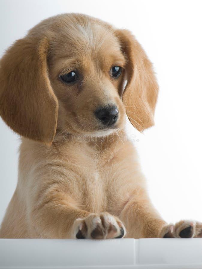 Posição do filhote de cachorro imagem de stock