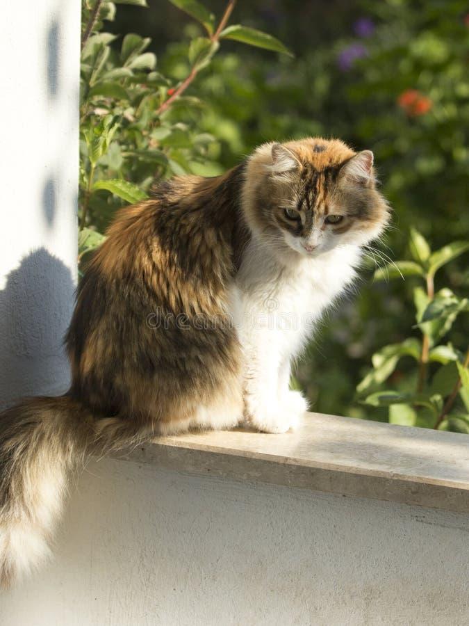Posição do gato de chita na parede do balcão que olha fixamente para baixo imagem de stock