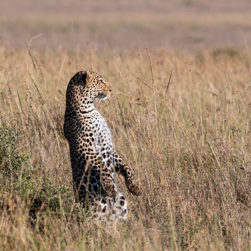 Posição do leopardo em seus pés traseiros para fazer a varredura do horizonte fotos de stock royalty free