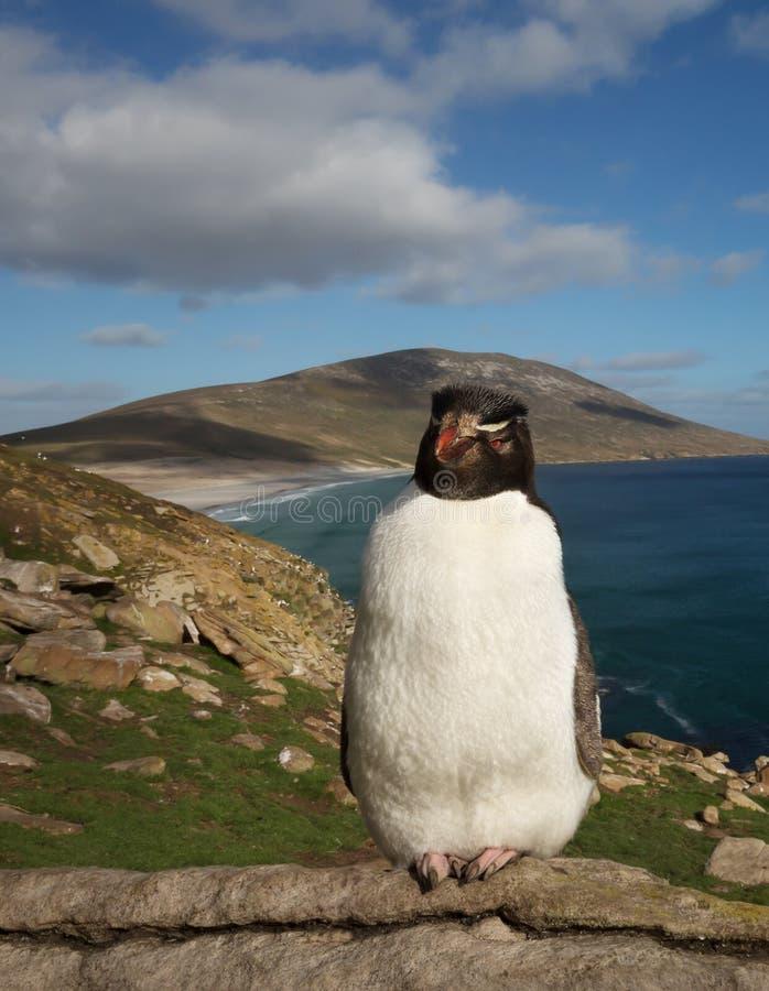Posição do pinguim de Rockhopper em uma área costal de Falkland Islands fotografia de stock