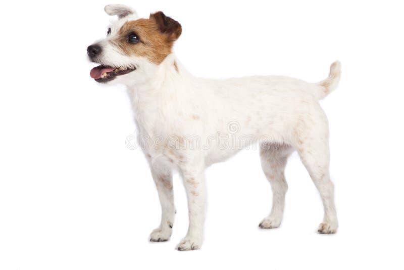 Posição do terrier de Jack russell imagem de stock royalty free
