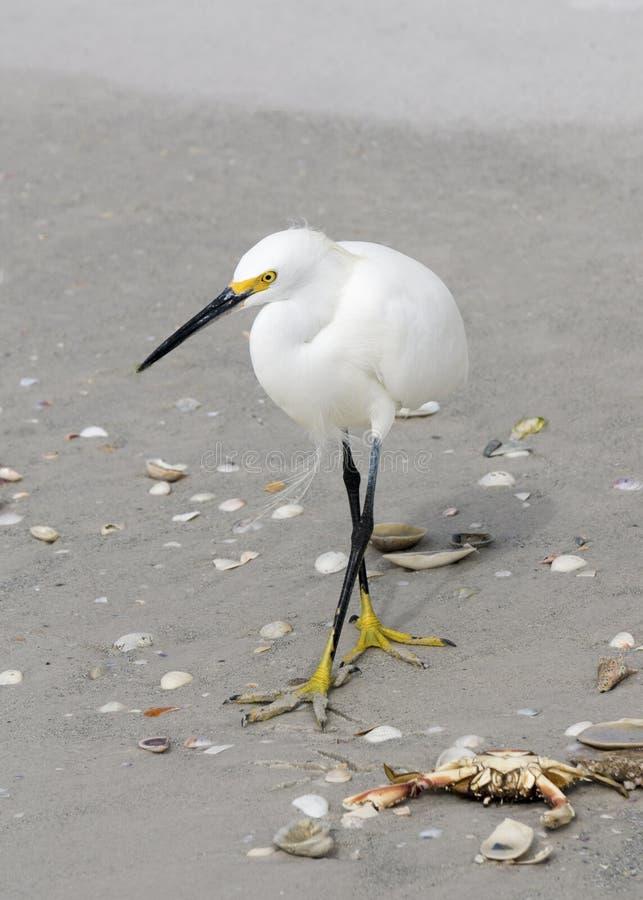 Posição do thula do Egretta do Egret nevado na alimentação da praia imagem de stock