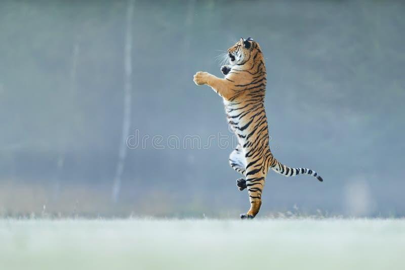 Posição do tigre nas patas traseiras Não o typicall levanta para o gato grande Tigre de dança Tigre de Amur Panthera Tigris Altai foto de stock royalty free