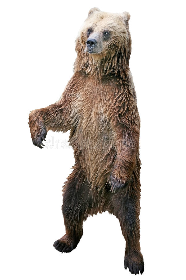 Posição do urso de Brown fotografia de stock