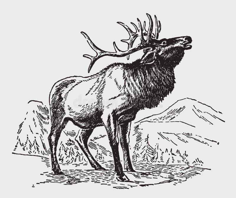 Posição do veado do elaphus do cervus dos veados vermelhos em uma paisagem montanhosa e rujir ilustração royalty free