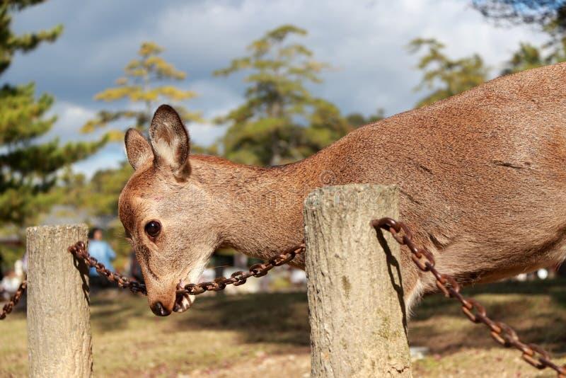 A posição dos cervos e usa a boca ao ferro chain na luz solar no parque em Nara, Japão imagem de stock