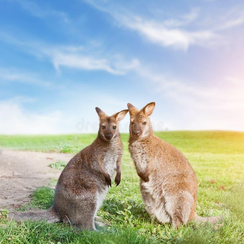 Posição dos pares do canguru, olhando a câmera austrália imagens de stock royalty free