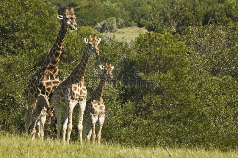 Posição e observação da família do girafa foto de stock