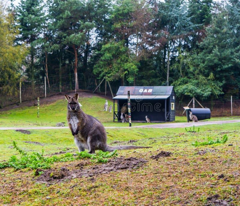 Posição em um pasto, retrato do ualabi de Bennett de um canguru de Austrália imagens de stock