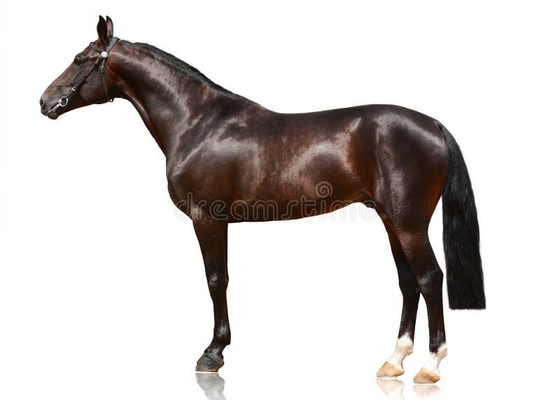 Posição escura do cavalo do esporte da baía isolada no fundo branco Vista lateral fotografia de stock