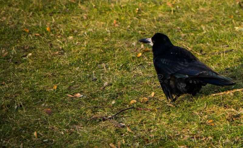 Posição escura do corvo na terra Lugar para a inscrição foto de stock