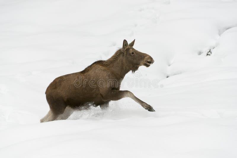 Download Alces europeus foto de stock. Imagem de inverno, mamífero - 29834442