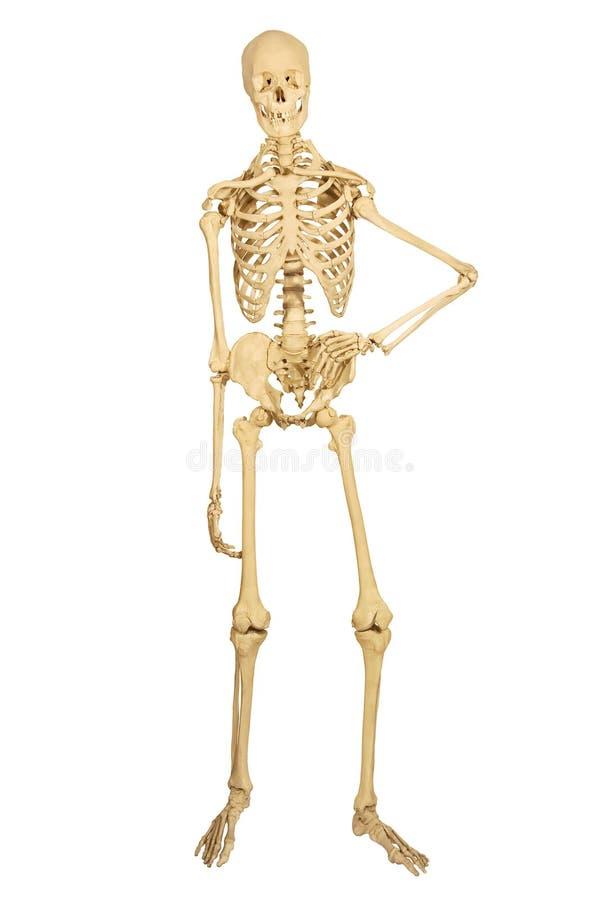 Posição humana do esqueleto fotos de stock royalty free