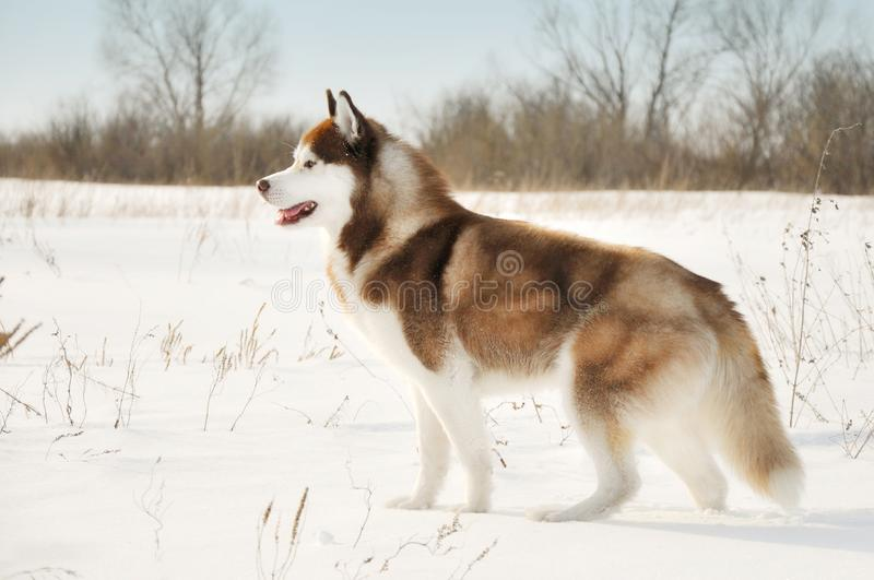 Posição lateral ronca siberian do norte do cão sledding na neve do inverno fotos de stock royalty free