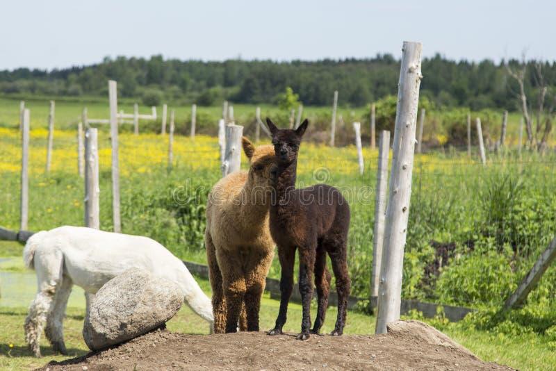 Posição marrom adorável da alpaca do bebê no monte da terra ao lado de seu amigo avermelhado que aconchega-se contra ele fotos de stock royalty free