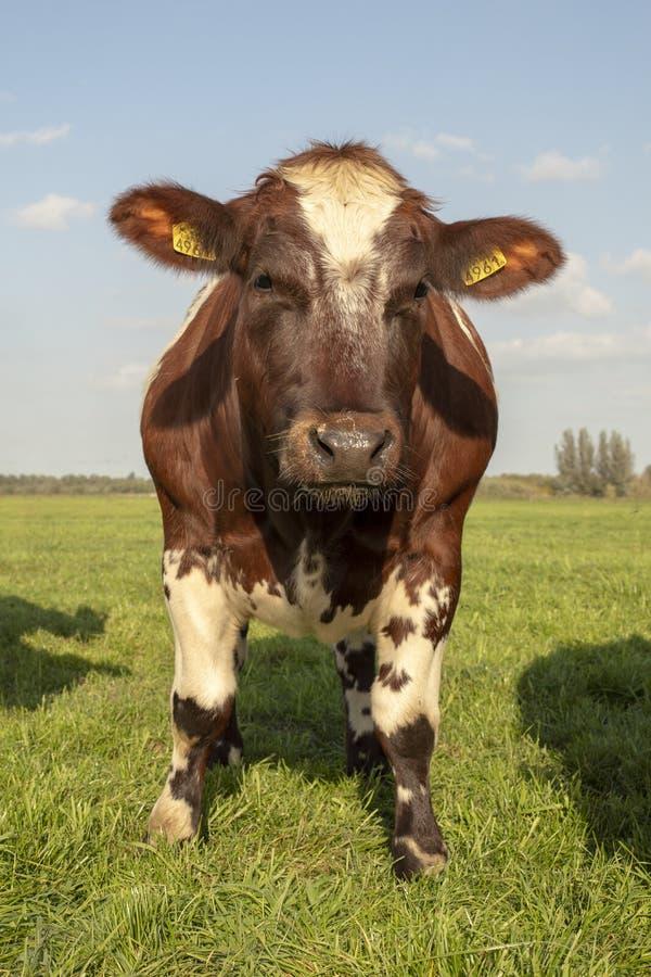 Posição marrom e branca resistente da vaca na parte dianteira em um prado verde sob um céu azul fotografia de stock