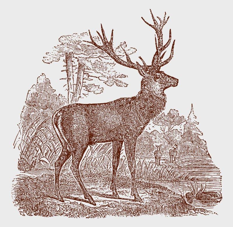 Posição masculina do veado do elaphus do cervus dos veados vermelhos em uma paisagem ilustração royalty free