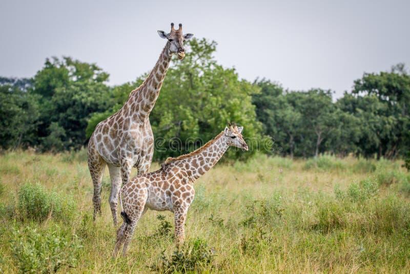 Posição nova do girafa com sua mãe imagem de stock