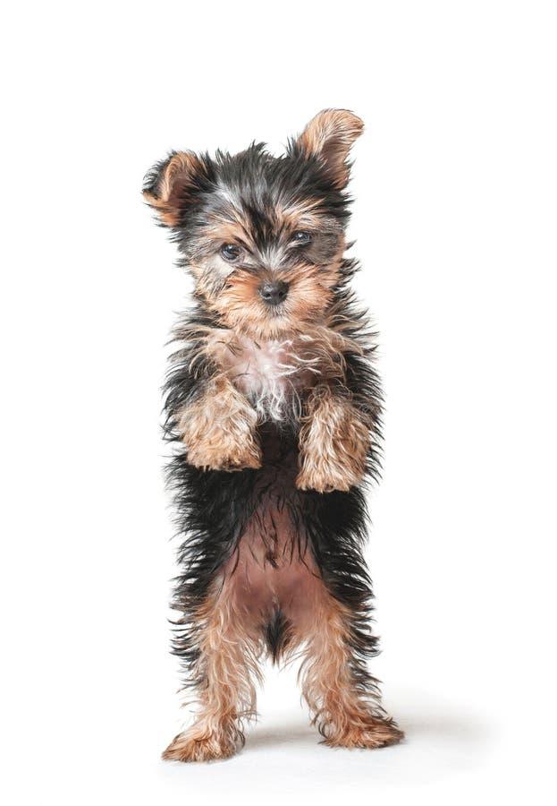 Posição pequena do cachorrinho imagem de stock