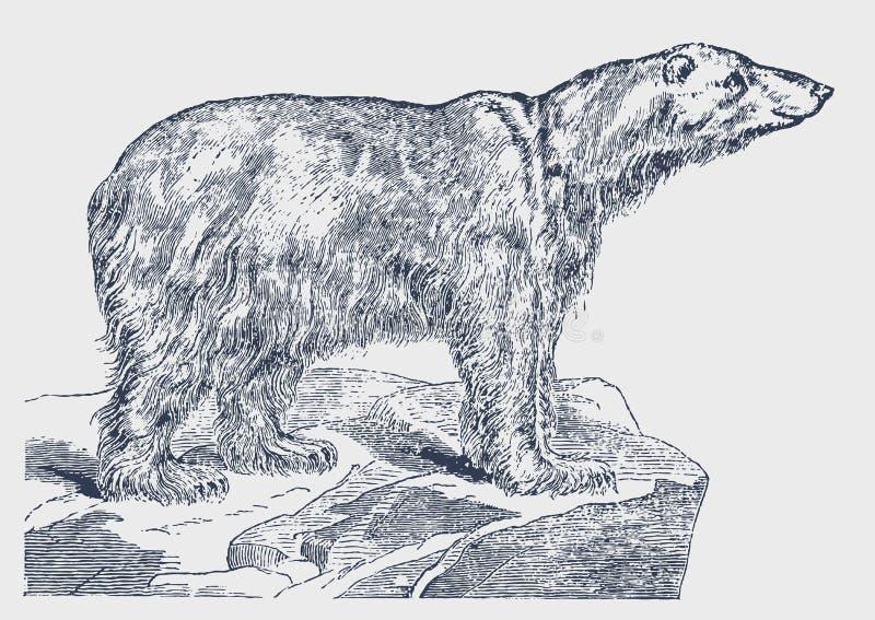Posição posta em perigo do maritimus do ursus do urso polar em um iceberg ilustração do vetor