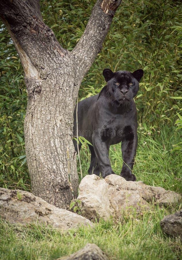 Posição preta da pantera do jaguar ao lado de uma árvore imagens de stock royalty free