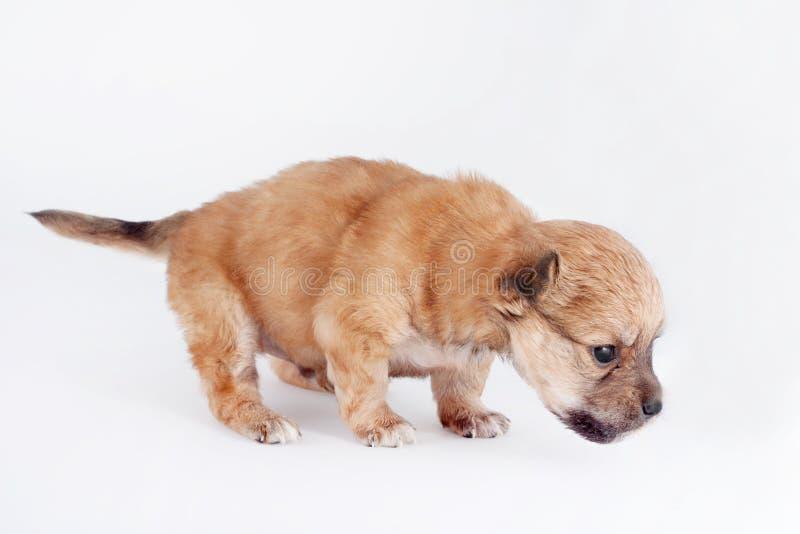 Posição recém-nascida engraçada do cachorrinho do puro-sangue Isolado no fundo branco fotografia de stock royalty free