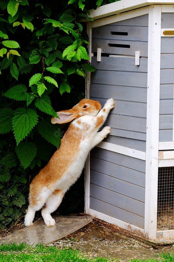 Posição vermelha do coelho em seus pés traseiros no jardim imagens de stock