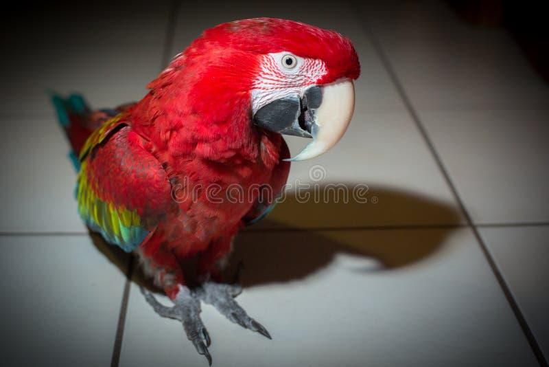 Posição vermelha Verde-voada do retrato do papagaio da arara na telha branca fotos de stock