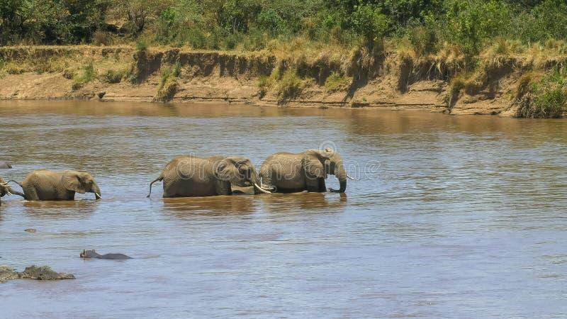 Posibilidad muy remota de una manada de los elefantes que comienzan a cruzar el río de Mara imagen de archivo