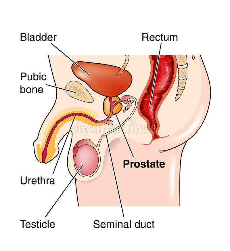 Posición de la glándula de próstata stock de ilustración