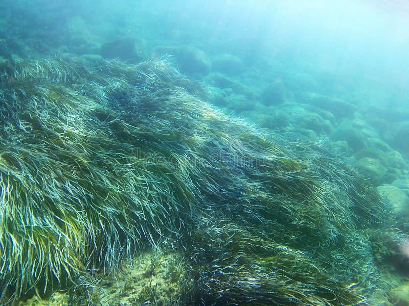Posidonia pod morzem zdjęcia royalty free