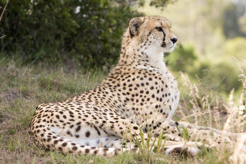 posiedzenie geparda obrazy stock