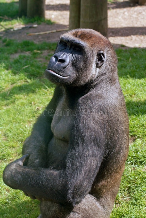 Posing Ape royalty free stock images