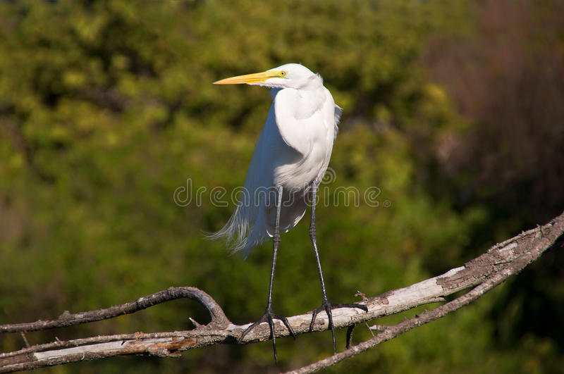 Download A posing great egret stock photo. Image of black, national - 22867414