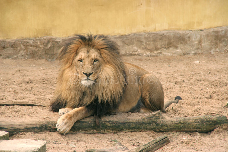 Posing lion stock photography