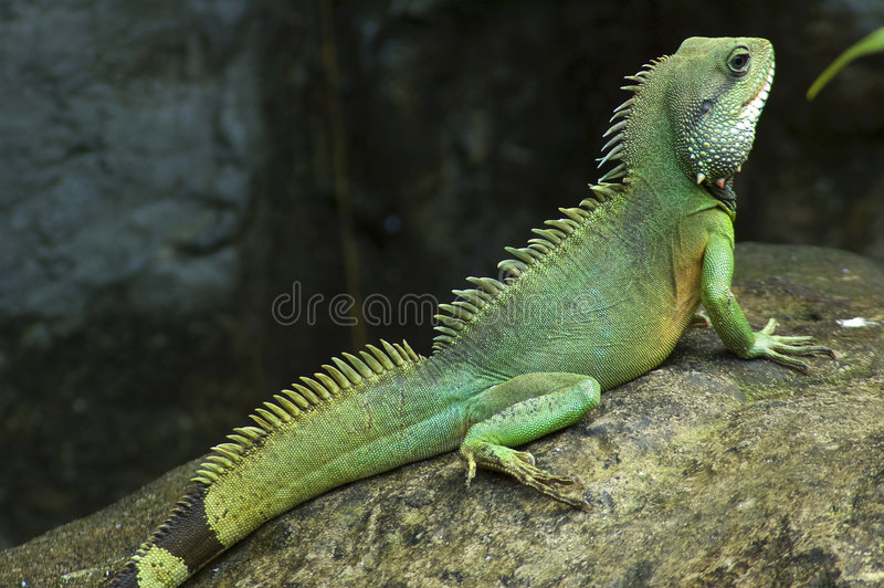 Posing Lizard royalty free stock photos