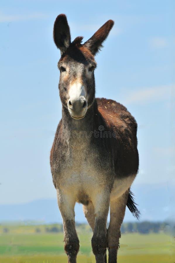 Free Posing Mule Royalty Free Stock Images - 15063599