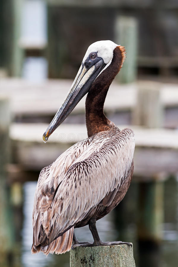 Download Posing Pelican Royalty Free Stock Photos - Image: 33075318
