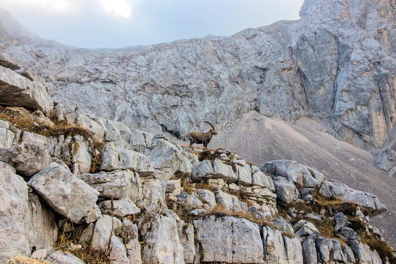 Position alpine de bouquetin devant une montagne photographie stock libre de droits