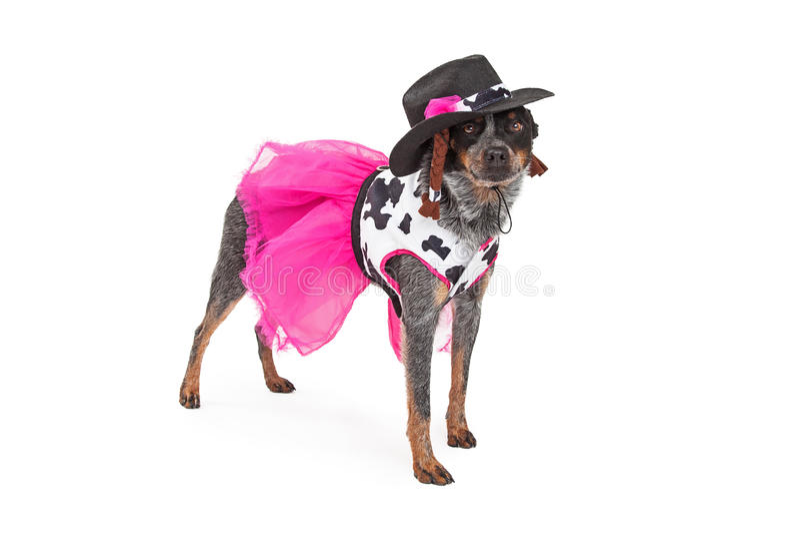 Position australienne de chien de bétail de cow-girl joyeuse images libres de droits