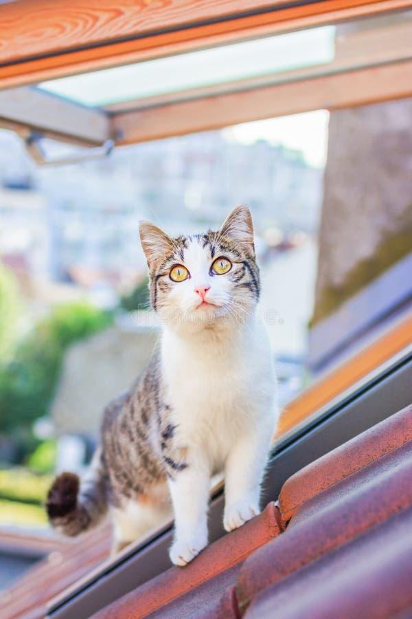 Position blanche et grise domestique de chat sur sur le toit carrelé photos libres de droits