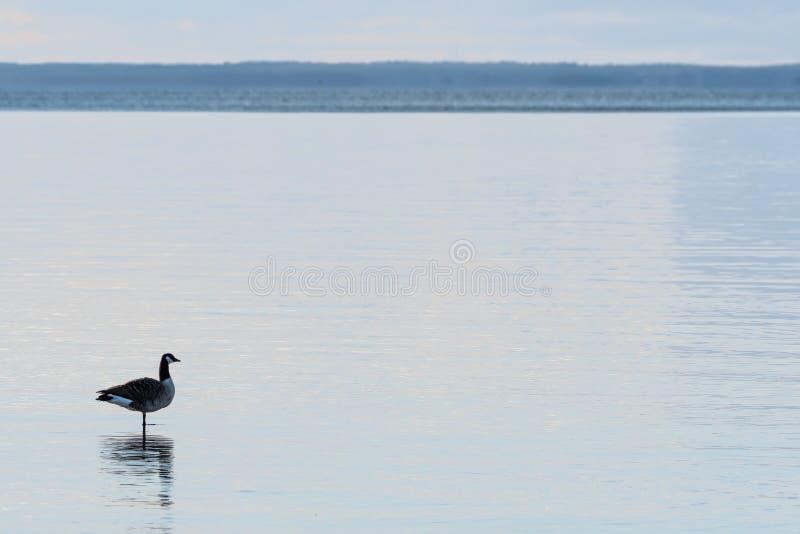 Position canadienne d'oie dans l'eau image stock