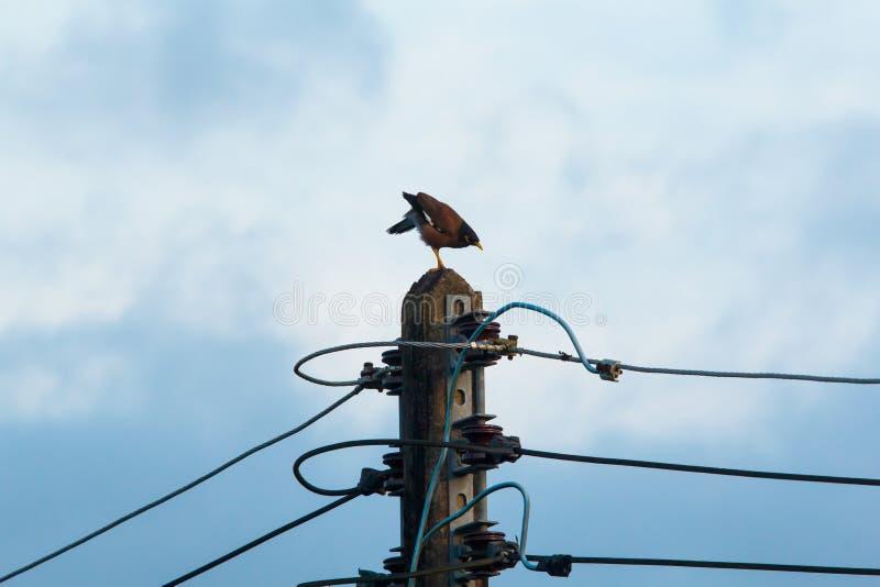 Position commune de Myna sur le vieux courrier électrique dans le ciel de matin Animal d'oiseau sur la nature dans la campagne photos libres de droits