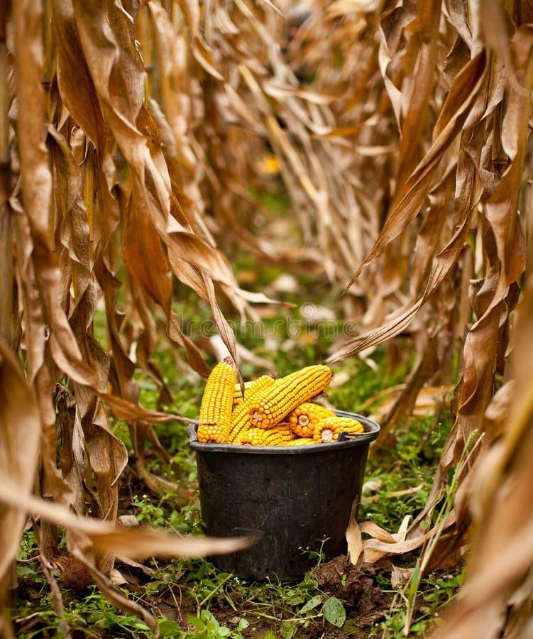 Position complètement de maïs image stock