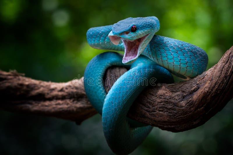 Position d'attaque, vipère bleu prêt à attaquer n'importe quoi, nature, macro, serpent images libres de droits