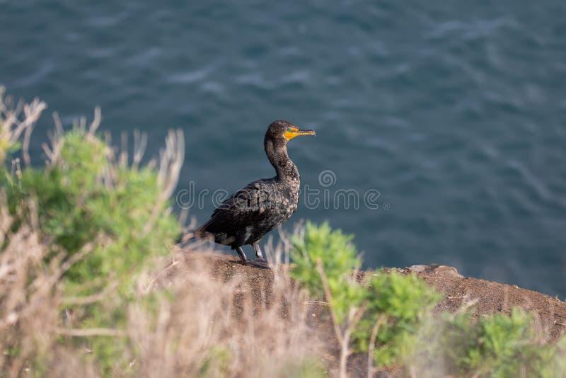 Position d'oiseau de Cormorant sur le bluff, plage de La Jolla, San Diego, la Californie photo stock
