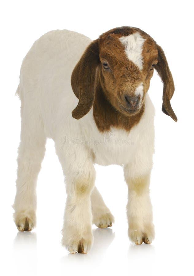 Position de chèvre de chéri image libre de droits